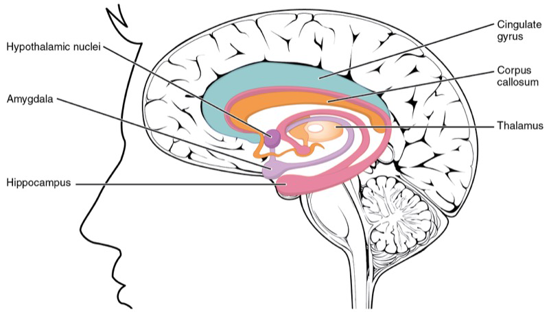 sistema-limbico-estres